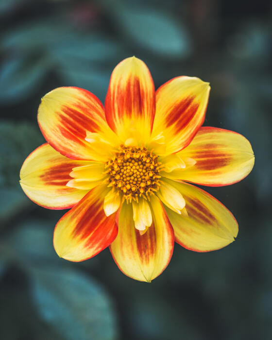 Always beautiful dahlia