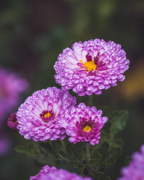 3 purple asters