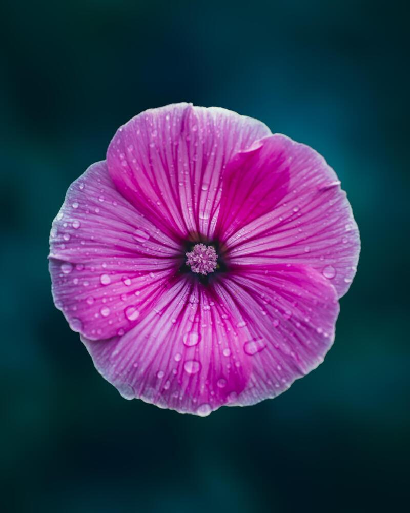 Mallow pink